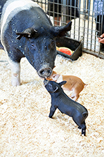 black baby pig with mom