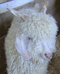 Angora - lameness and sudden death