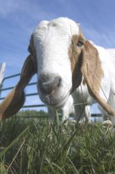 goats and trace elements