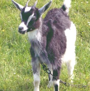 tethered goat