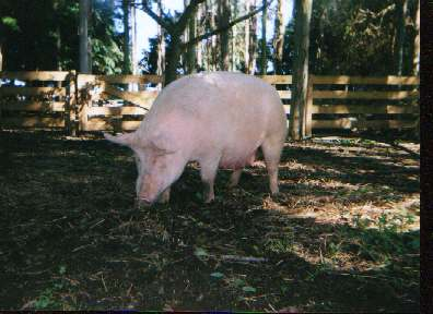 Mrs Pig in the forest