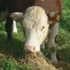 cattleeatingw
