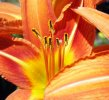 growing daylilies