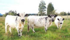 White Galloway cattle