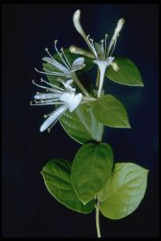 japanesehoneysuckle