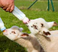 hand rearing lambs, kids and calves