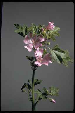 Large flowered mallow