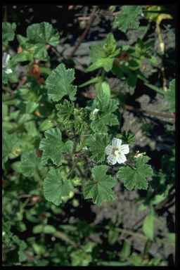 Small flowered mallow