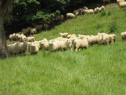 pasturesheep