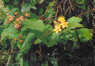 Tutsan foliage and flowers